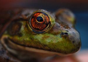 Frog's-eye